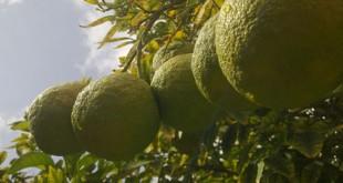 خواص درمانی نارنج